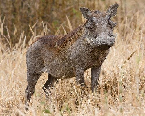warthog - some of the ugliest animals on the planet