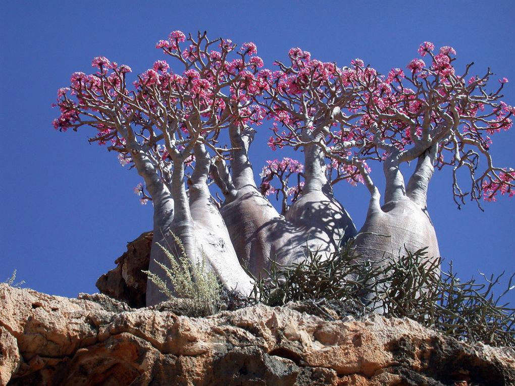 wkinu61 - socotra island, yemen. one of the most alien looking places on earth.