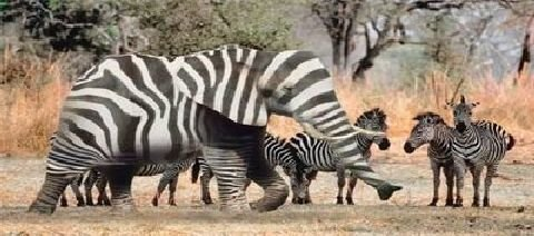 zebraphant - cats and elephants - how my cat sees the world / ele-camouflage