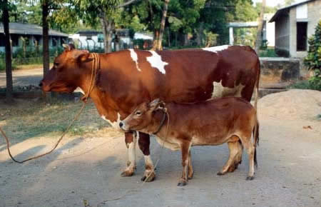 a264 cattle - 10 of the world's smallest animals
