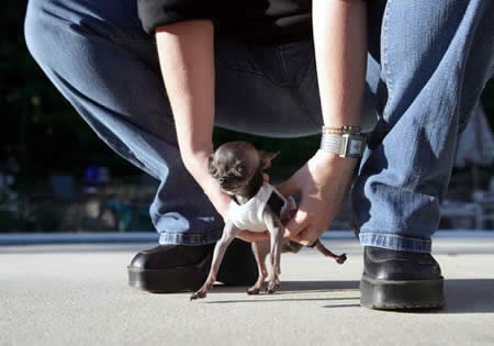 a264 dog - 10 of the world's smallest animals