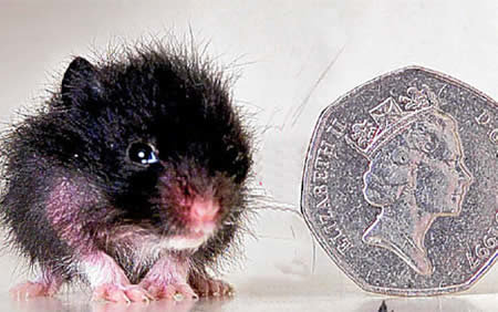 a264 hamster - 10 of the world's smallest animals