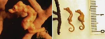 a264 seahorse - 10 of the world's smallest animals