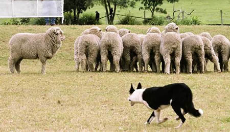 a378 sheepdog - most fascinating dogs