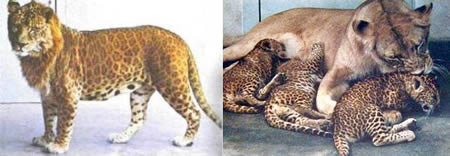 a411 leopon - amazing hybrid animals