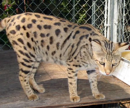a411 savannah - amazing hybrid animals