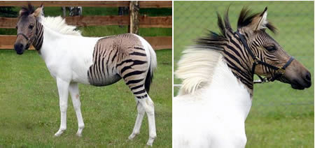 a411 zebroid - amazing hybrid animals