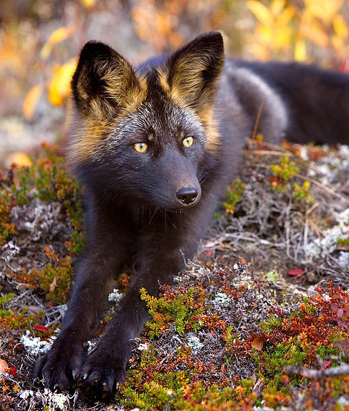 ab7rfxr - the incredibly rare and incredibly cute silver fox