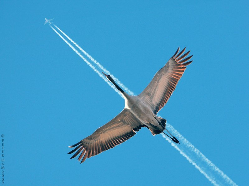 airplane goose