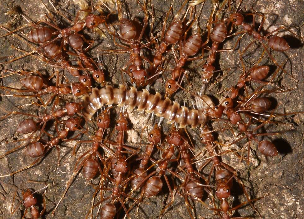 ants killing millipede