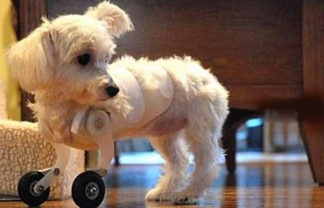 article 1028681 01b6266000000578 531 468x301 - is a dog with wheels instead of real legs funny?