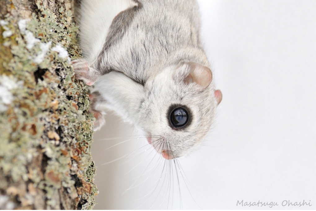 b0zz0p0caaens3j - japanese dwarf flying squirrel is one of the most adorable animals on earth