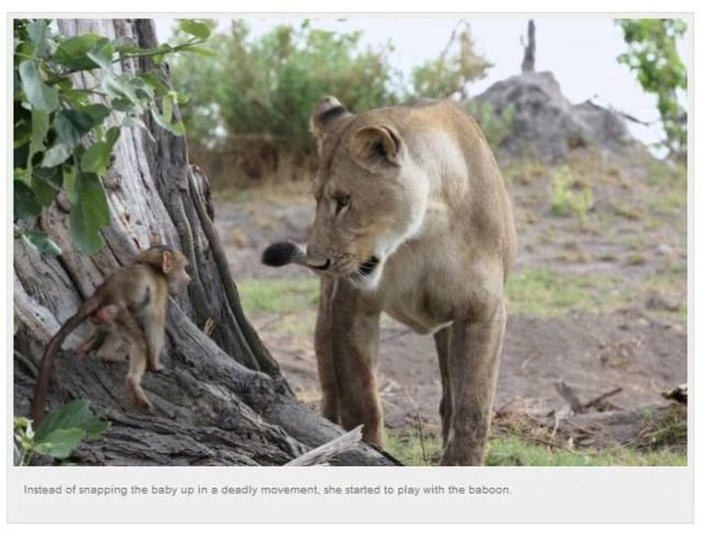 baboons unusual meeting lioness