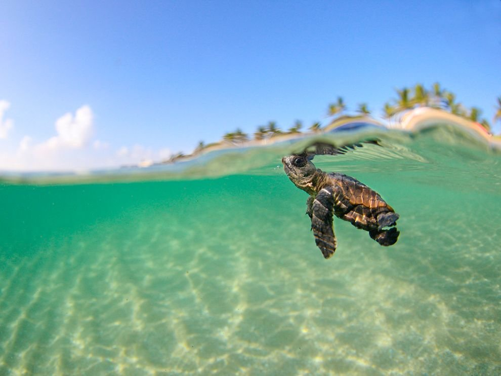 baby loggerhead sea turtle florida