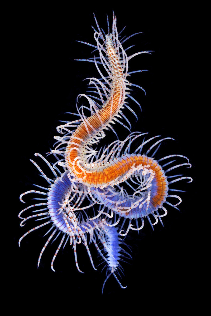 ben8cwy - marine worms