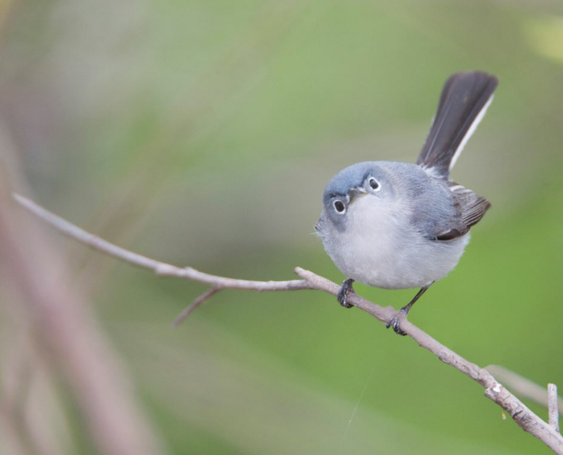 bluegray gnatcatcher enough your shit