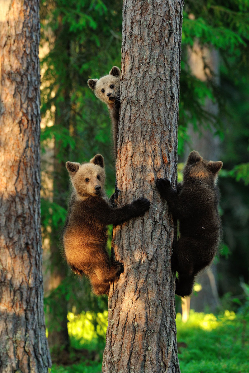 brown bear cubs graham erik mandre