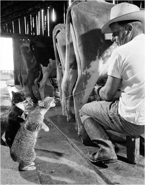 cat drinks milk from cow