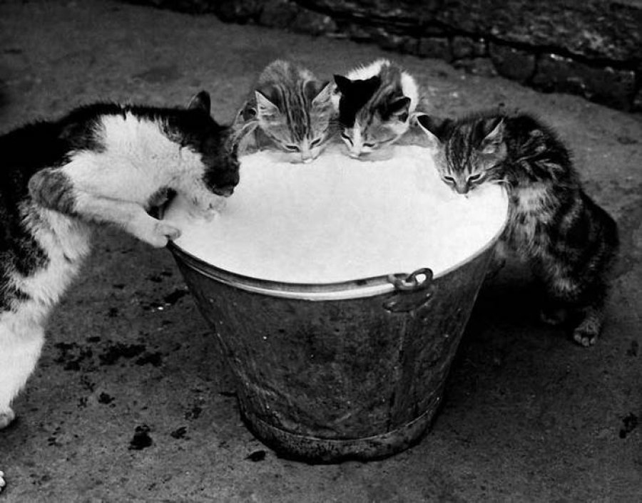cats bucket milk