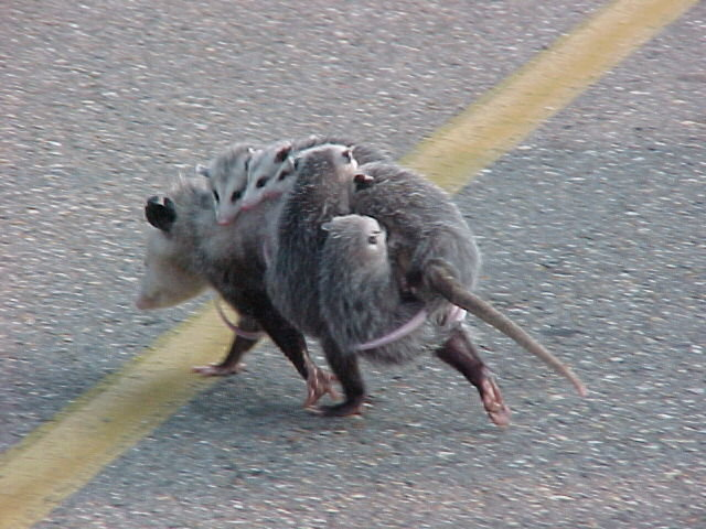 ciqy0 - possum family. this almost blew my mind
