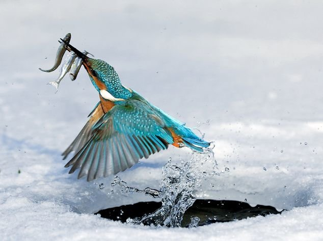 colorful bird catches three fish once