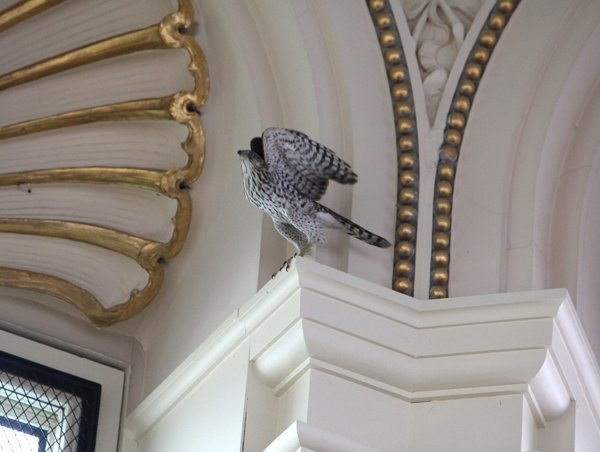 coopers hawk found way into main reading room library congress yesterday