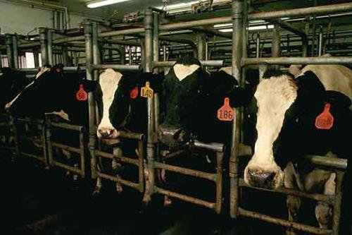 cows dairy usda small