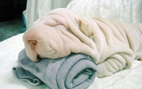 cutedogtowelillusionlo0 - a dog or a towel?