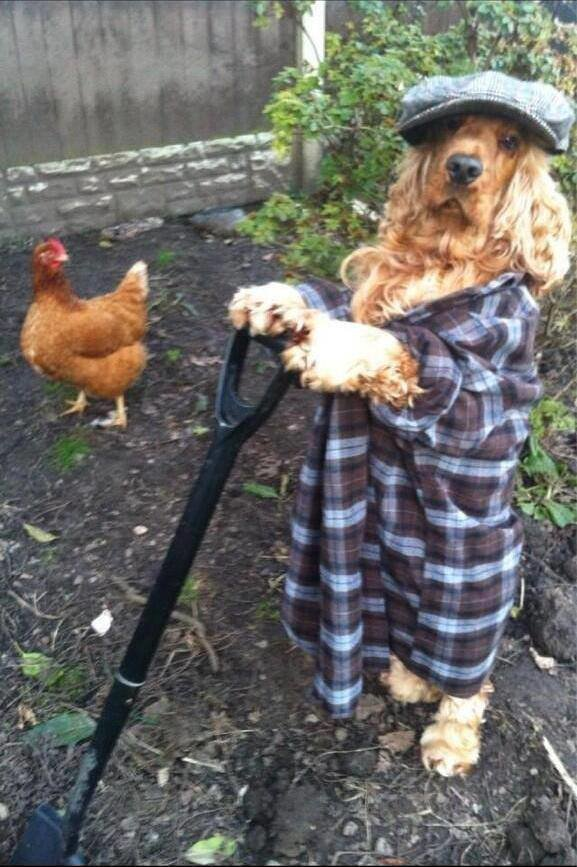 dog chicken gardening