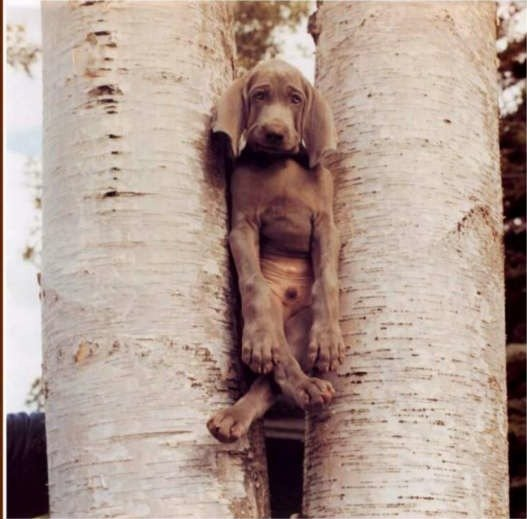 dog stuck between two trees