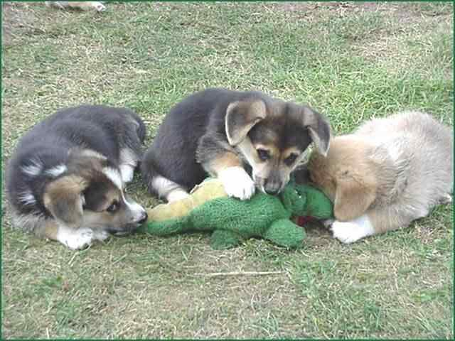 dogs - pack of dogs attack alligator in florida