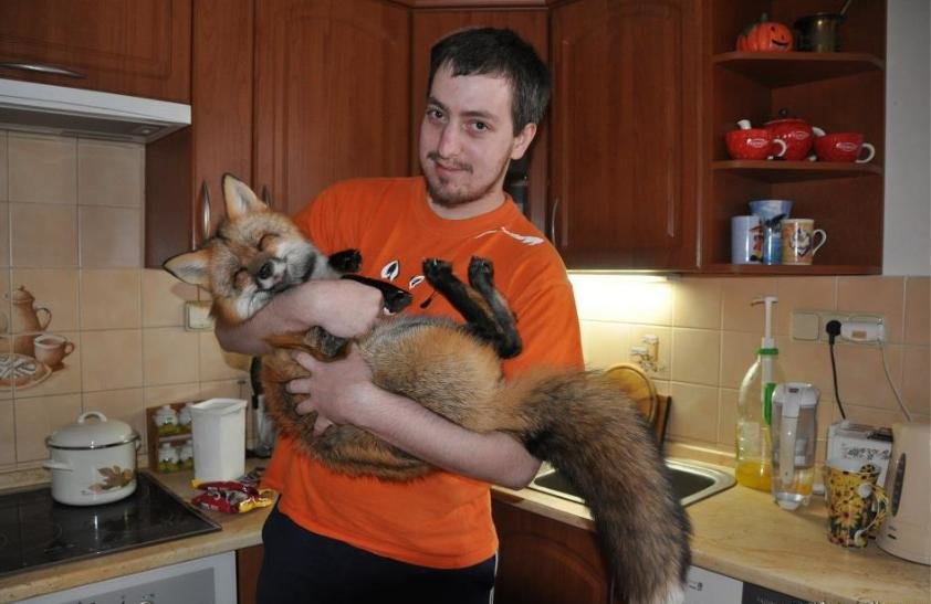 domesticated fox found canadian friends facebook