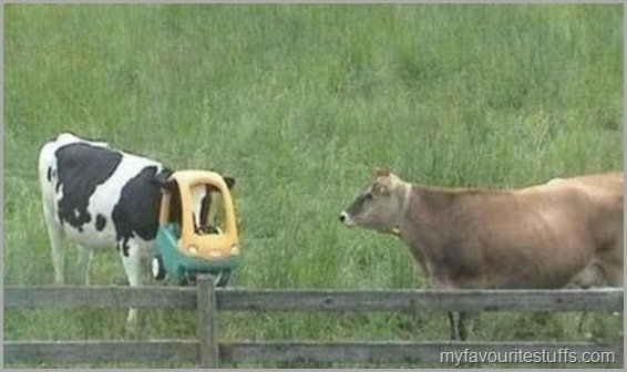 dont drive drunk drive all youre cow