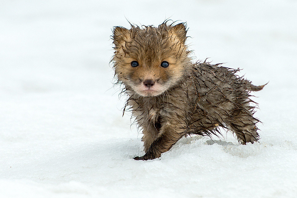 drenched baby fox