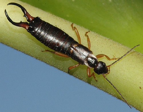 earwig - what animals and bugs are you afraid of?