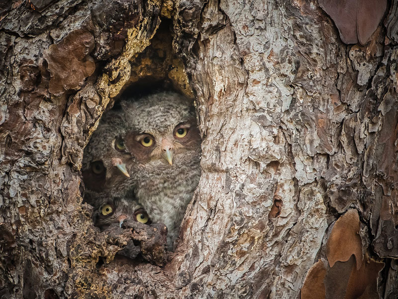 eastern screech owls graham mcgeorge