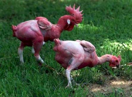 featherless chickens