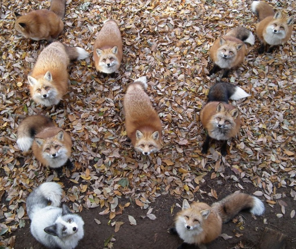 foxes - daily picdump 60+ pics