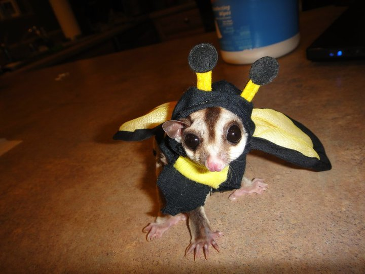 friends sugar glider totally ready for halloween