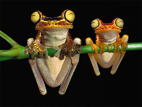 frogs pic