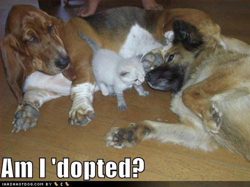 funny dog pictures adopted kitten