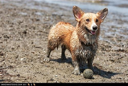 funny dog pictures goggie teh dirty dirty happee corgi