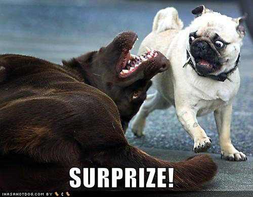 funny dog pictures surprise pug