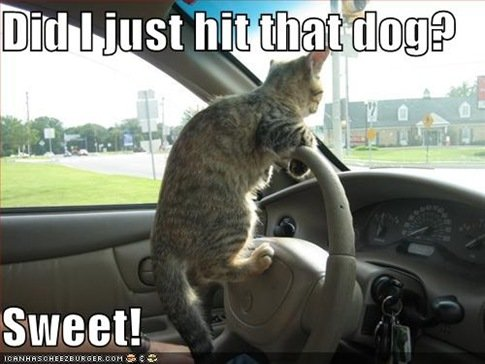 funny pictures driving cat hits dog