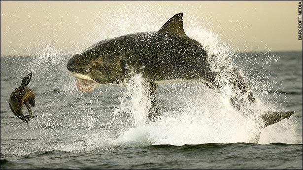 great white shark leaping air eating seal