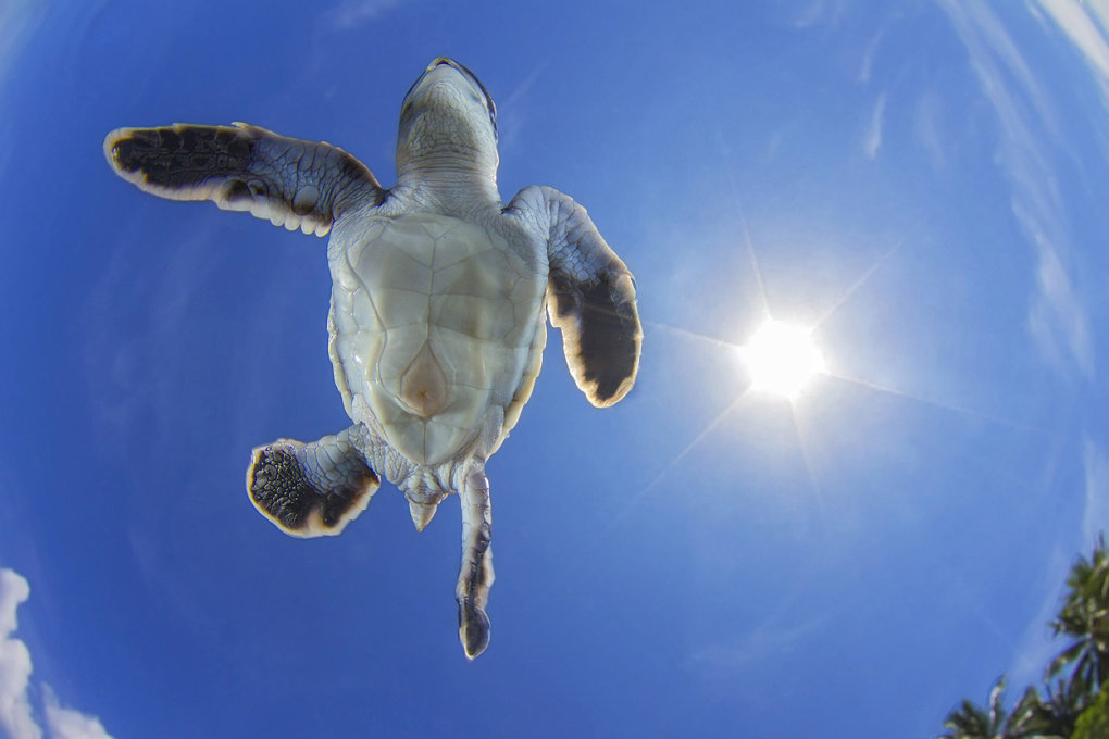 green see turtle sky swimmer vincent truchet