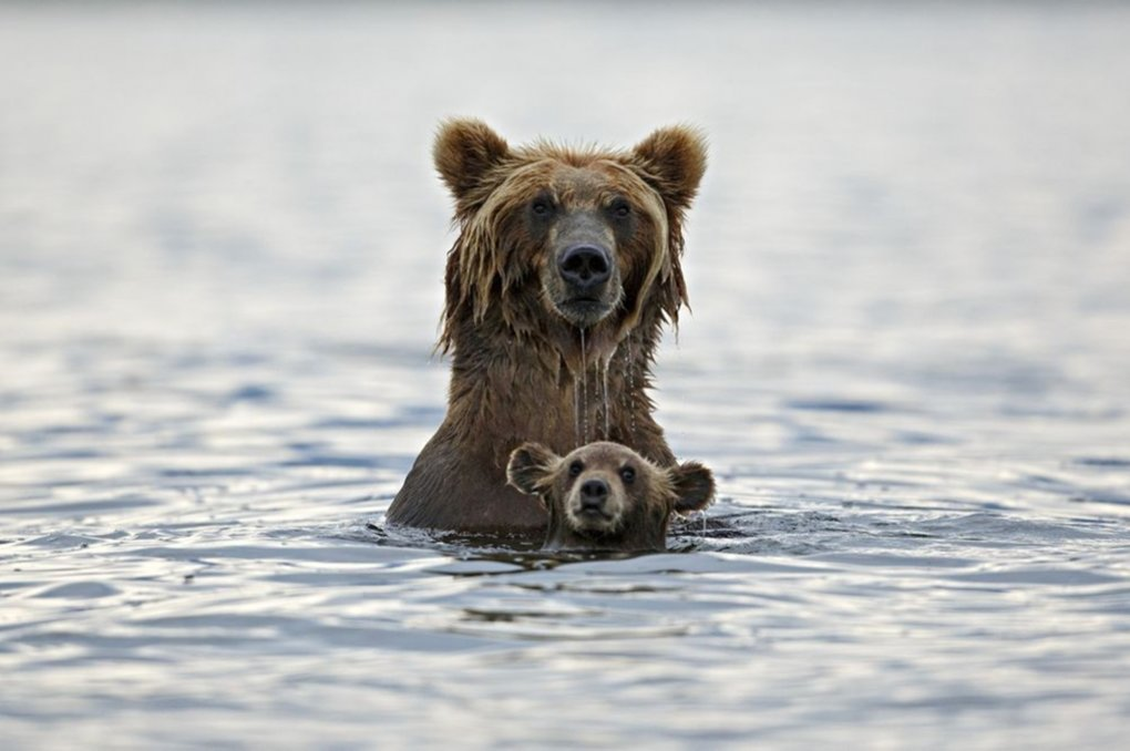 grizzly bear water