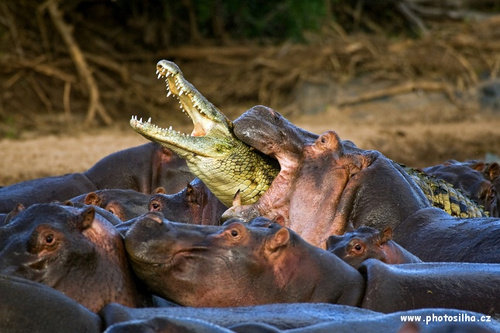 hippo - hungry hungry hippo