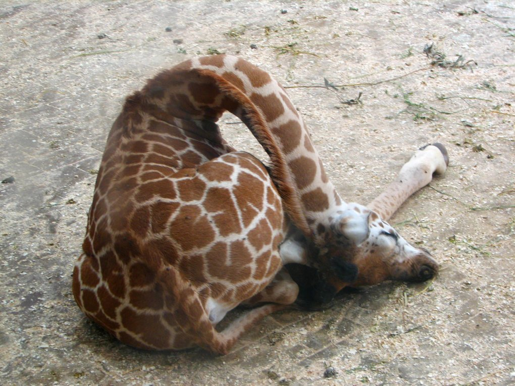 giraffes sleep