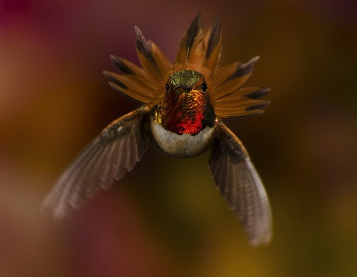 hummingbird british columbia scott bechtel